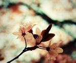 Cherry - Κεράσι